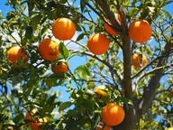 orange tree carrying many oranges. It was pruned.