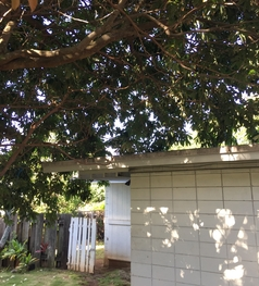 Tree leaning over a garage in a dangerous way. Tree needs trimming in Oahu